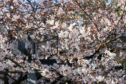 314-4sakura4.jpg